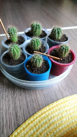 Продам деток кактуса эхинопсис