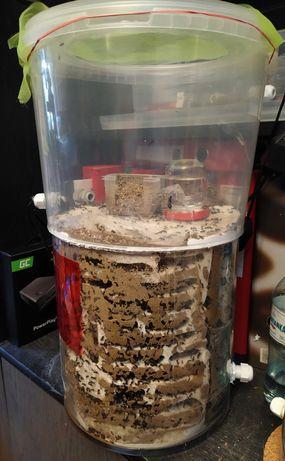 Mrówki Messor barbarus ( żniwiarki) - dojrzała kolonia