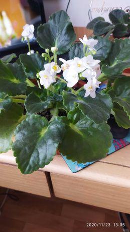 Фиалки комнатные растения