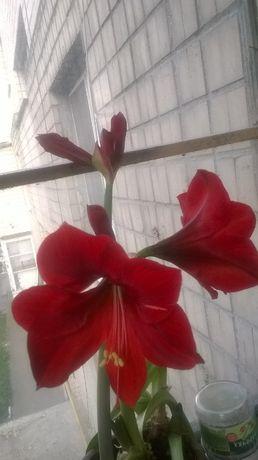продам комнатный цветок -гипераструм (амариллис)