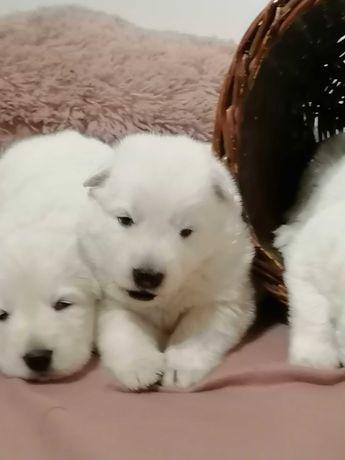 Biały Owczarek Szwajcarski- szczeniaczki