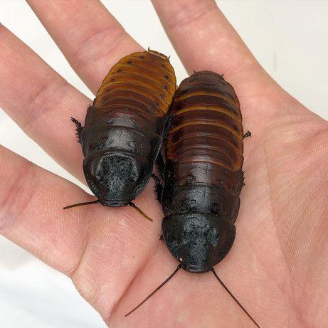 Тропический мадагаскарский таракан, живые, крупные. Возможна аренда.