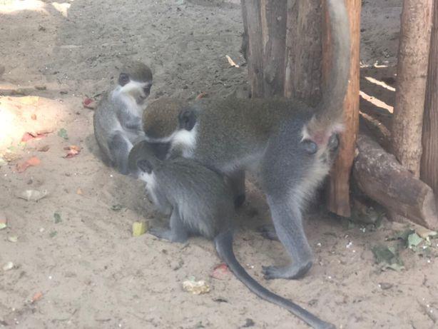 Зеленые мартышки - маленькие обезьянки