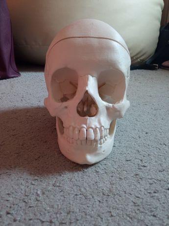 Czaszka, model anatomiczny