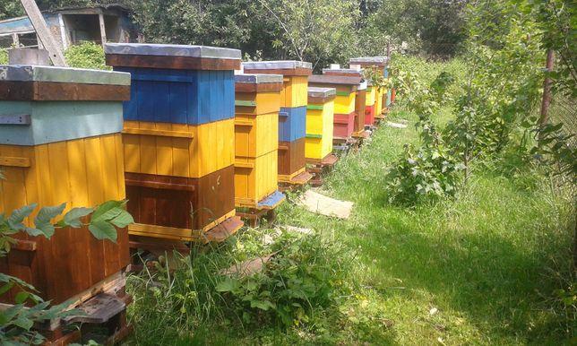 Rodziny i odkłady pszczele na ramce wielkopolskiej