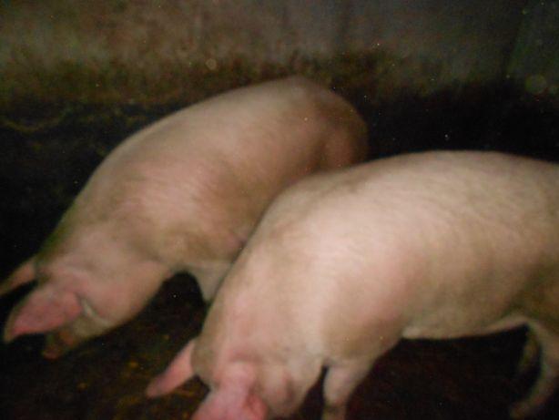продам пів свині битої або цілу живу