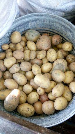 Картопля дрібна, продам не дорого
