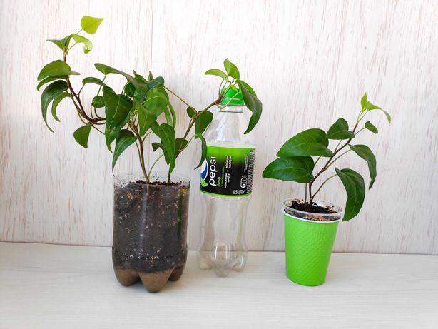 Комнатное растение плющ (хедера)