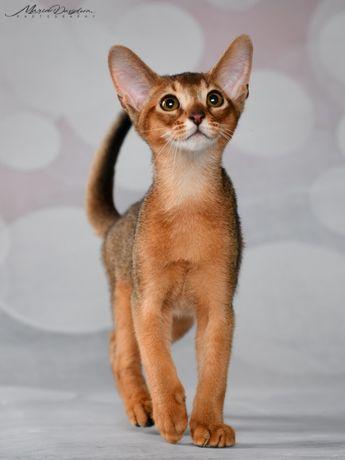 Продаются абиссинские котята