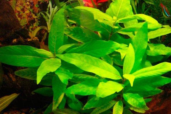 Продам аквариумное растение лимоник