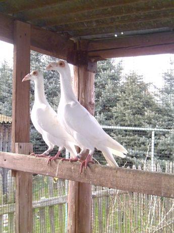 Karier Kariery Gołębie białr
