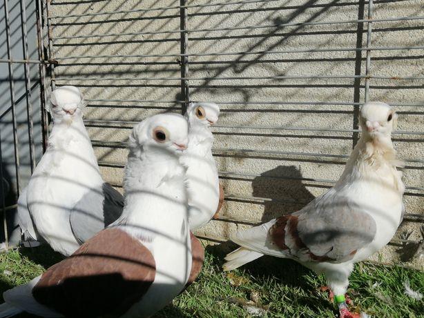 Gołębie. Mewka. Mewki samce