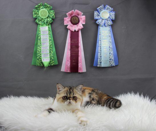 Gatinha Persa Exotica pelo curto | Exotic Shorhair | Femea | 5 meses