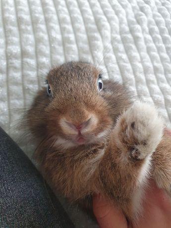 Oddam królika za darmo