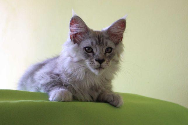 Мейн Куны, котята