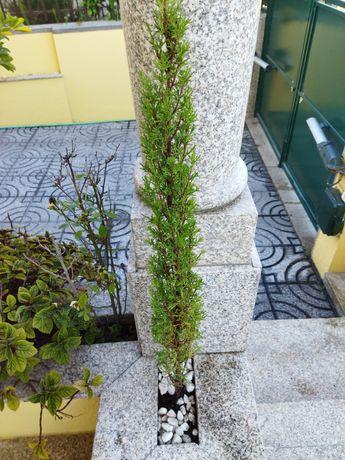 Cipreste Cupressus sempervirens stricta