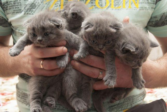 Котята для брони ,отличный подарок к новому году
