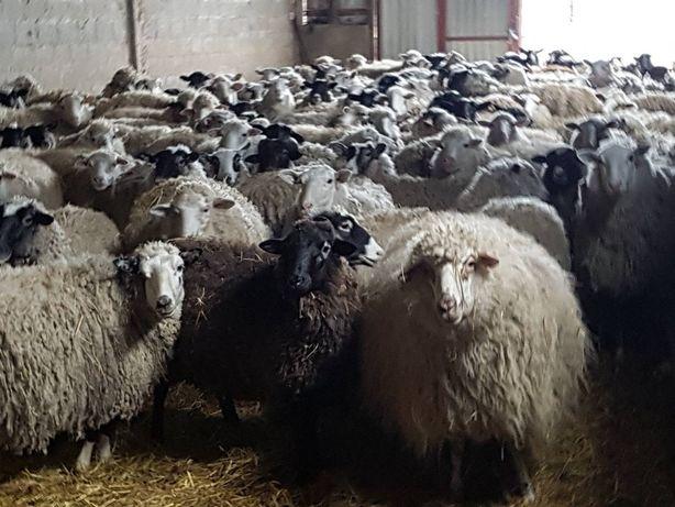 Продається стадо овець. Можна купити по одному.