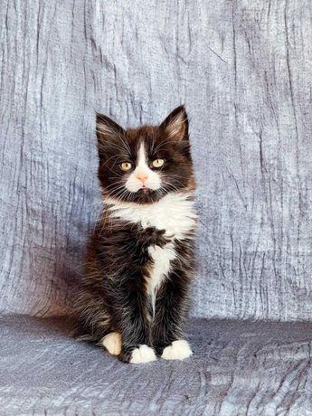 Котята. Отдам котенка девочку пушистую 7 недель