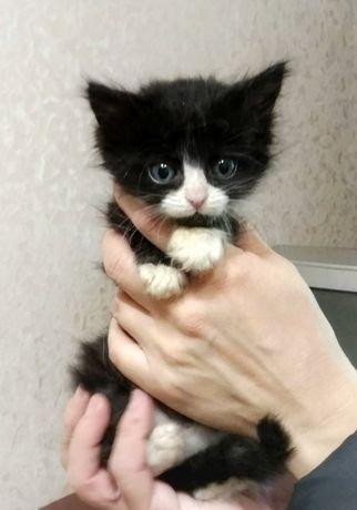 Пушистый котенок 1.5 месяца в добрые руки ( котята, котенка, котик )