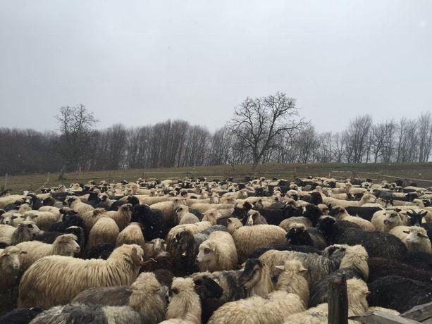 Продам вівці 250 голів