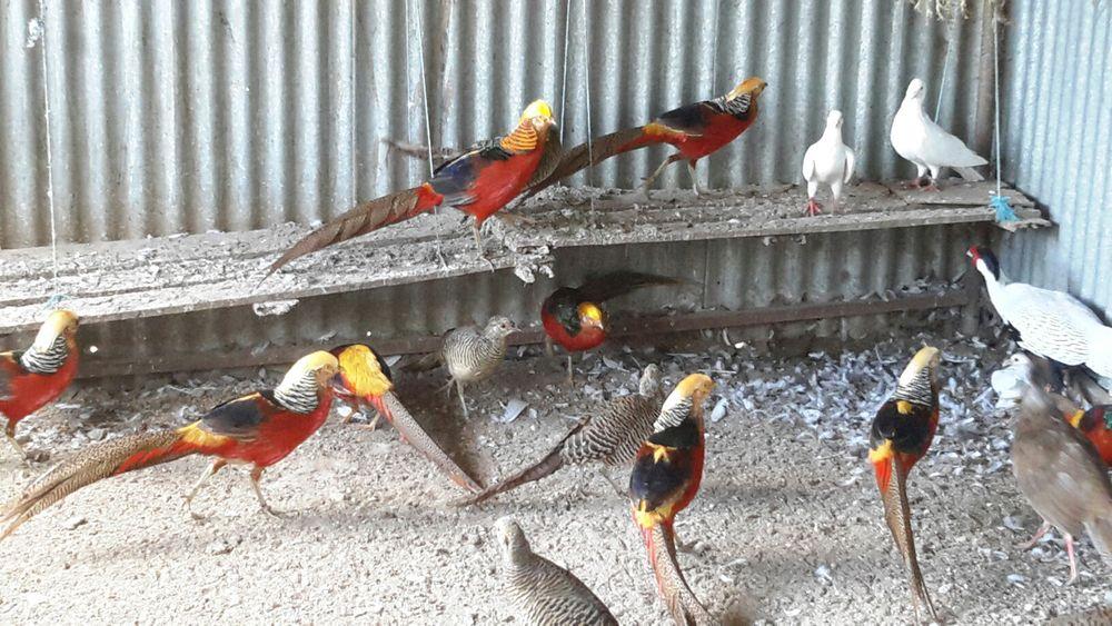 Galinhas/Faisões/Pavões/Patos/Cisnes Paredes - imagem 1