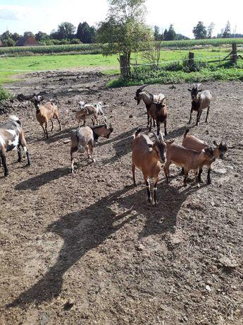 Sprzeda kozy miniatorki