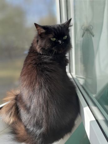 Отдам черную пушистую кошку метис перса,стерилизована , 2 года