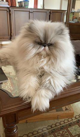 Персидские котята питомник