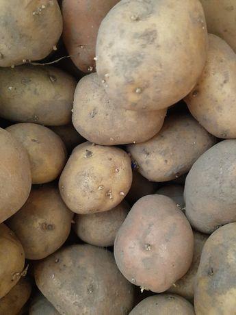 Насінева картопля 100 кг.
