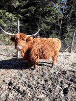 Krowy Highland Cattle