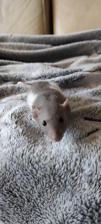 Szczury szczurki szczur szczurek dumbo rex fuzz