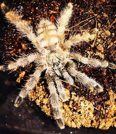 Pseudoclamoris gigas L5 pająk ptasznik i dużo innych