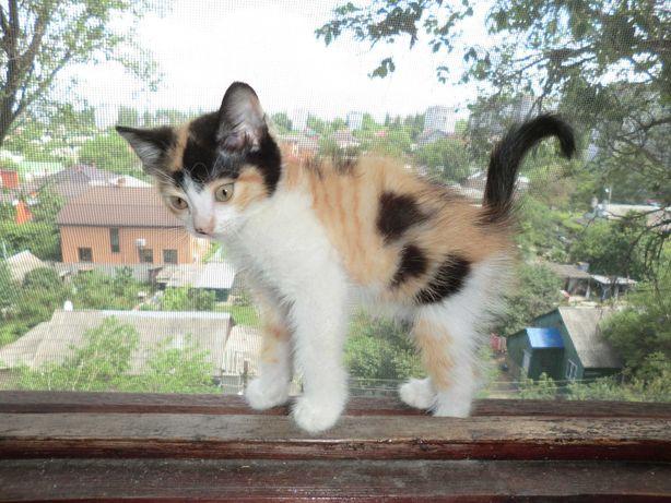 Дарю котенок-девочка мышеловка 2 мес бесплатная доставка по Николаеву