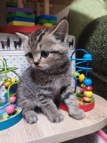 Шотландські кошенята висловухі та прямовухі