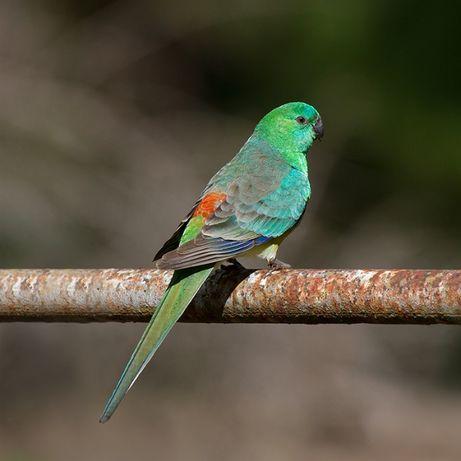 певчий, красноспинный попугай