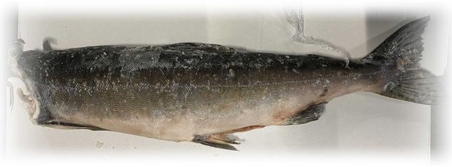 Горбуша рыба патронная без головы сорт 1