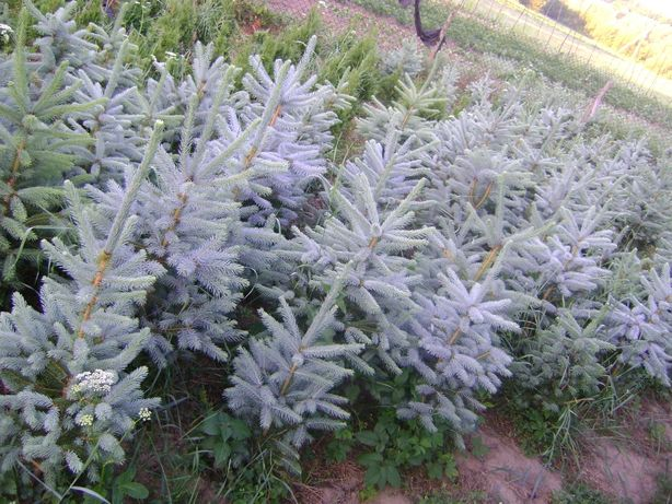 Ялинка голуба.Ель голубая.Picea pungens Majestic blue spruce.