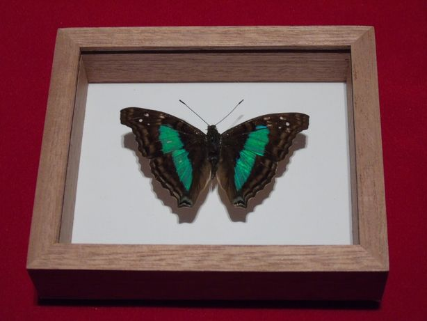 Motyl w ramce 12x10cm.Doxocopa laurentia cherubina
