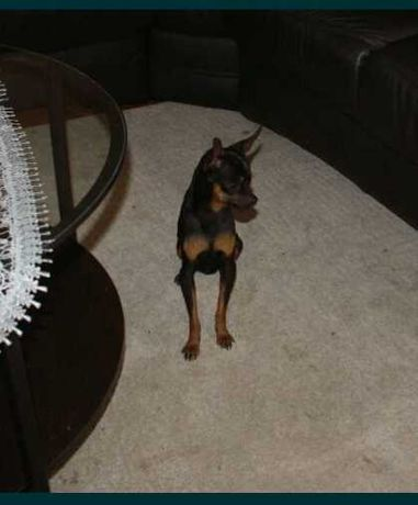 Pies reproduktor ratlerek, pinczer miniaturowy