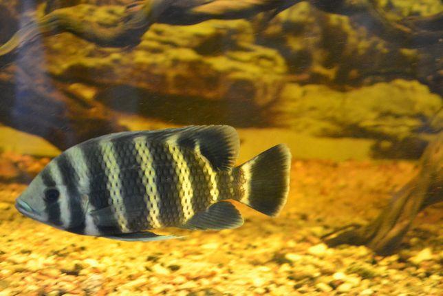 Heterotilapia buttikoferi, tilapia zebra
