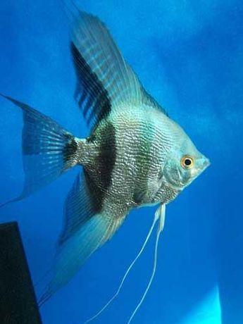 Skalar Blue/niebieskie skalary/rybki akwariowe