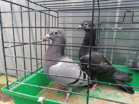 Gołębie młode francuzy
