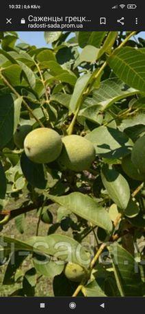 Саженцы грецкого ореха