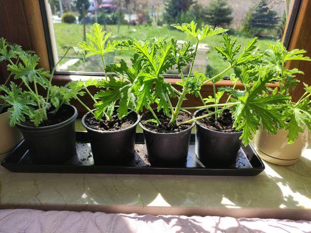 Sprzedam ukorzenione Geranium/Anginka
