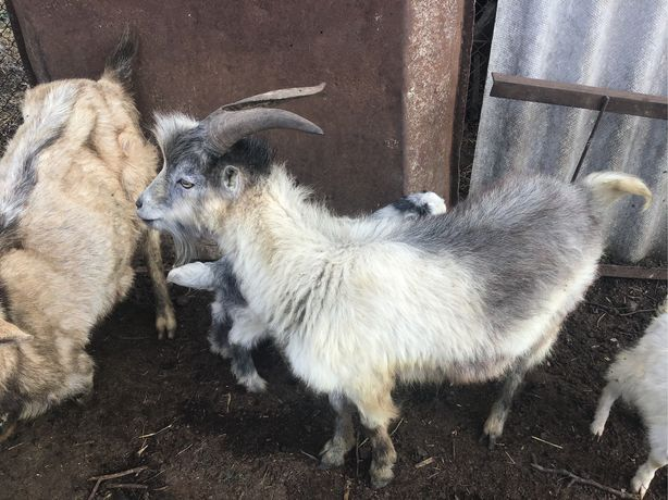 Продаются половозрелые козлы, кастрированные молодые козлы