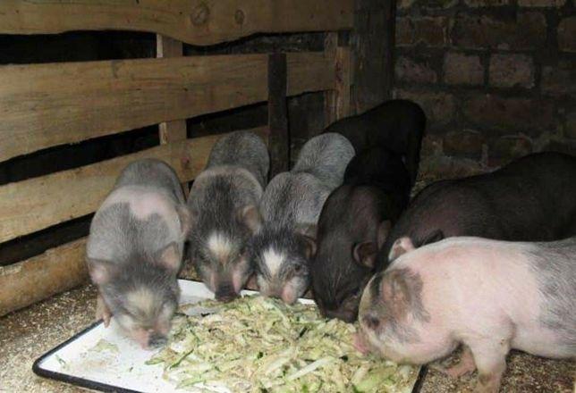 В'єтнамські поросята, вьетнамские свиньи