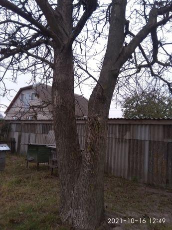 Продам горіхове дерево(подвійне),не спиляне на дошки.