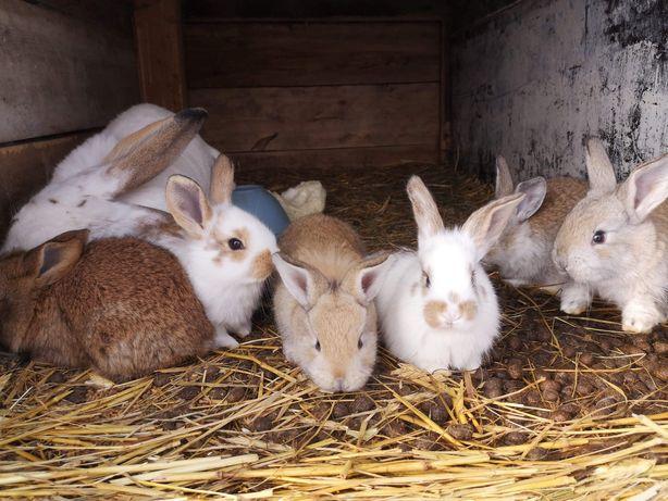 Królik,    króliki