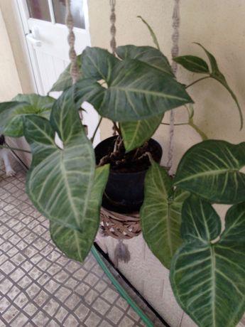 Vendo planta em vaso de casa ou exterior